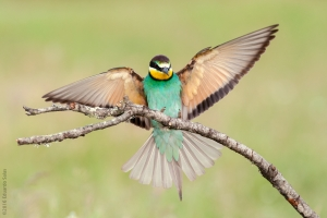 Abejaruco. (Merops apiaster)