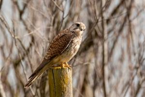 Cernícalo común. (Falco tinnunculus)